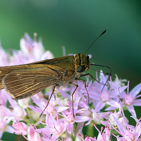 Common Moth on Sedum by Ed Stines - Animals Insects & Spiders ( flowers, moth, insect, sedum, garden,  )