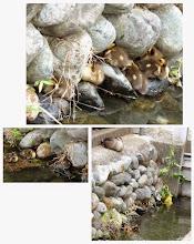 Photo: 撮影者:福本 健 カルガモ親子 タイトル:がんばれヒナ達 観察年月日:2014年5月23日 羽数:11羽 場所:日野駅北ウエルパーク北の日野用水(マンション前) 区分:繁殖 メッシュ:立川1B コメント:ヒナのその後の様子を確認した。2羽減って10羽になっていた。 いったいどこで寝ているか確認したら、側壁の石と石のわずかな間にへばりついていた。1羽が上がると1羽が落ちる状態であった。もう少し大きくなったらどうするのだろう。親はコンクリートの上で寝ていた。