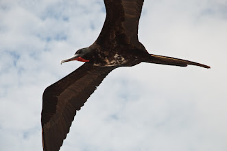 Photo: A frigatebird flies by as we prepare to board the zodiak, which will take us to the Endeavour