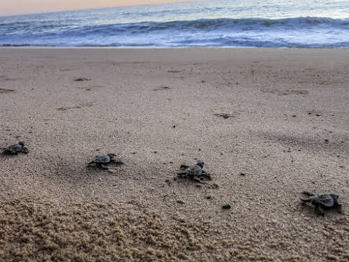 Things to Do in La Paz Mexico // Turtle Hatchling Release in Todos Santos