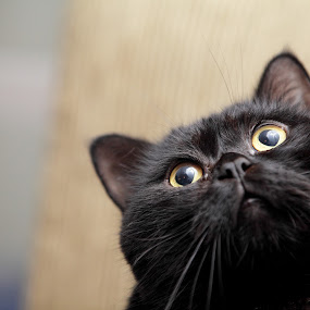 Black cat by Felipe Mairowski - Animals - Cats Portraits ( gato, cat, gatto, yellow eyes, black cat )