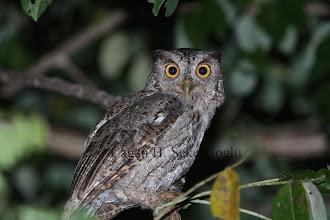 Photo: Pacific Screech-owl