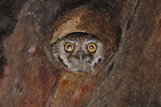 Photo: Elf Owl
