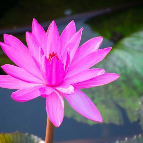 Auspicious pink lotus india bhoal by Basant Malviya - Flowers Single Flower ( flower     pink     lotus     india     bhopal purle )