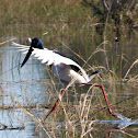 Black-necked Stork (female)