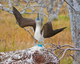 Photo: Blue-footed boobies everywhere and they all want to show off; North Seymour
