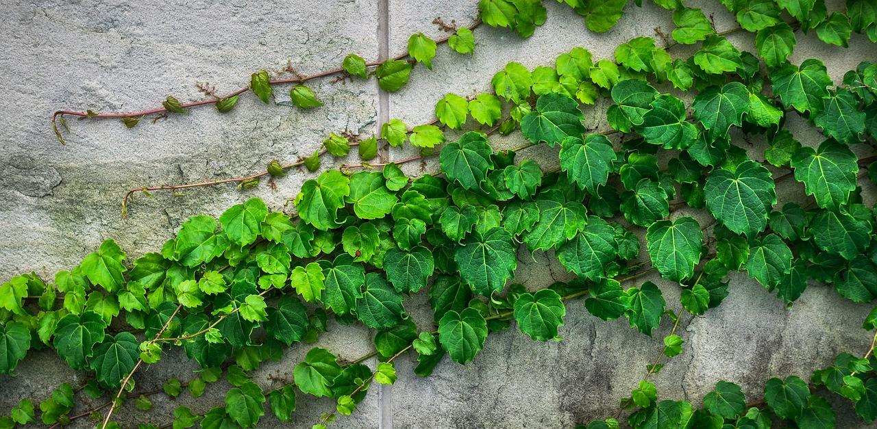 ivy-1659088_1280.jpg