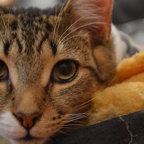 Oscar  by Aimee Osborne - Animals - Cats Kittens ( cat, meow, whiskers, kitty, eyes )