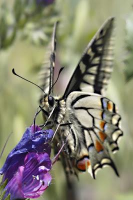 La solita farfalla. di fr4ssetto