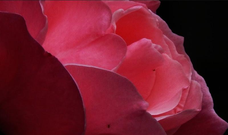 Nel cuore della rosa di Rodema