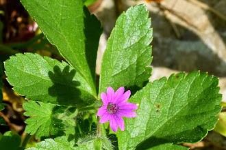 Photo: Geranium sp.