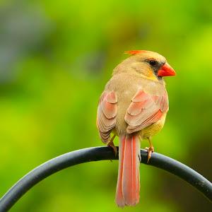 Femal Cardinal on Pole.jpg