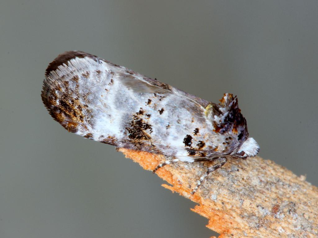 Bird dropping moth