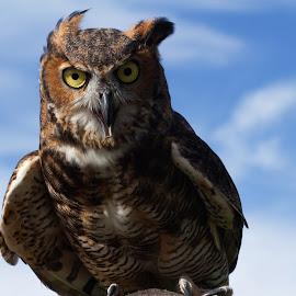 by Chris Seaton - Uncategorized All Uncategorized ( bird of prey, wings, owl, raptor, feathers,  )