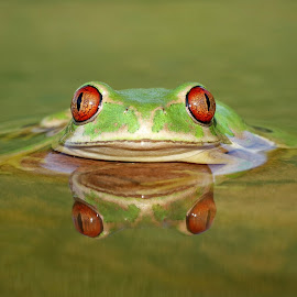 4 Eyes by David Knox-Whitehead - Animals Amphibians ( red eyes, green, water, amphibians )