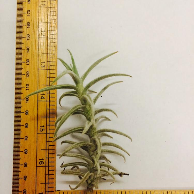 Air Plant - Palecea