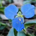 Blue Commelina