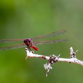 Dragonfly by Janez Žalig - Animals Insects & Spiders ( počitek, landing, tree houses, v zraku, hunting, in the air, drevo, pristanek, lov )