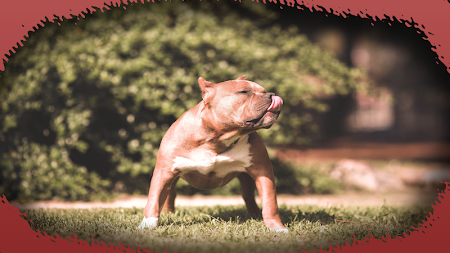 Pitbull Dog Wallpaper 26 Screenshot 1789085