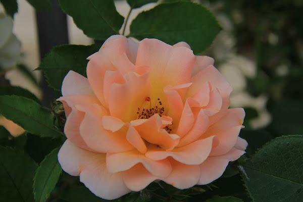 Varità di rosa di Sarettah_03