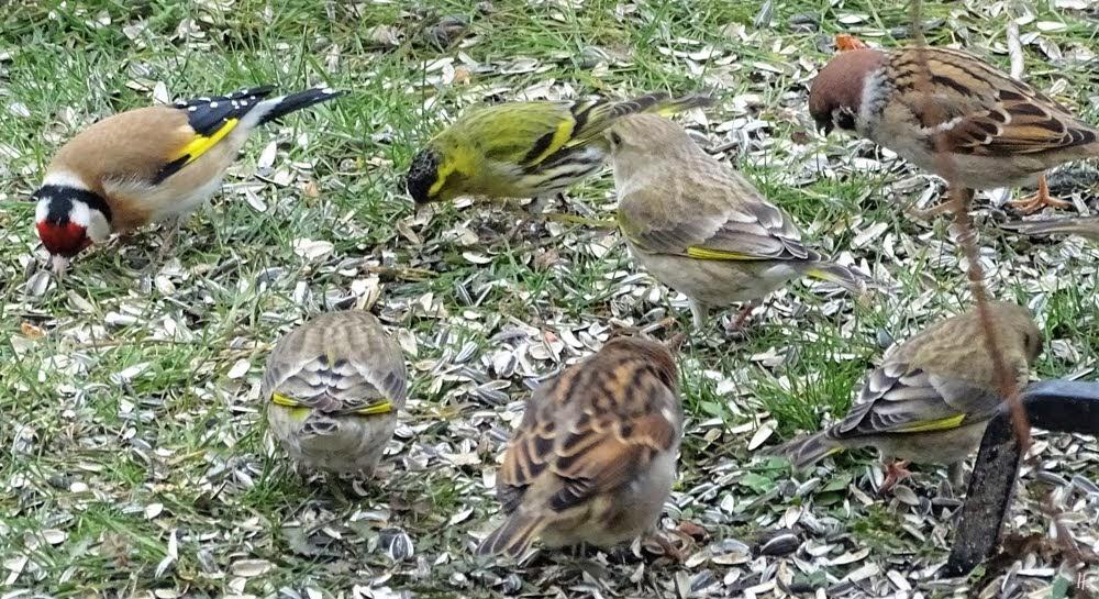 2019-03-01 LüchowSss Garten Vögel (4) Distelfink (Carduelis carduelis) + Grünfinken (Cloris chloris) + Haussperling (Passer domesticus) + Feldsperling (Passer montanus)