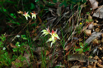 Photo: Caladenia flava ssp. sylvestrus