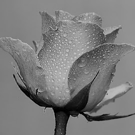Rose by Gérard CHATENET - Black & White Flowers & Plants
