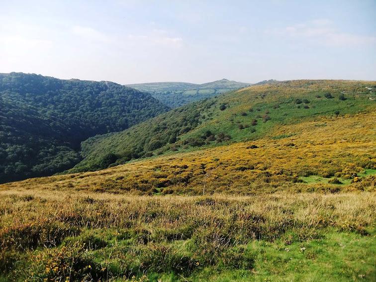 Dart valley gorse in Dartmoor