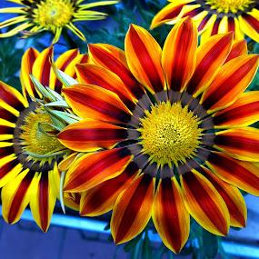 Grden flowers by Claudiu Petrisor - Instagram & Mobile Other ( orange, red, green, orange flowers, garden )