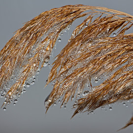 Falliing Drops by Bill Diller - Nature Up Close Natural Waterdrops ( calm, melting ice, drops, grasses, michigan, nature, calmness, tranquil, tranquility, marsh, water drops )