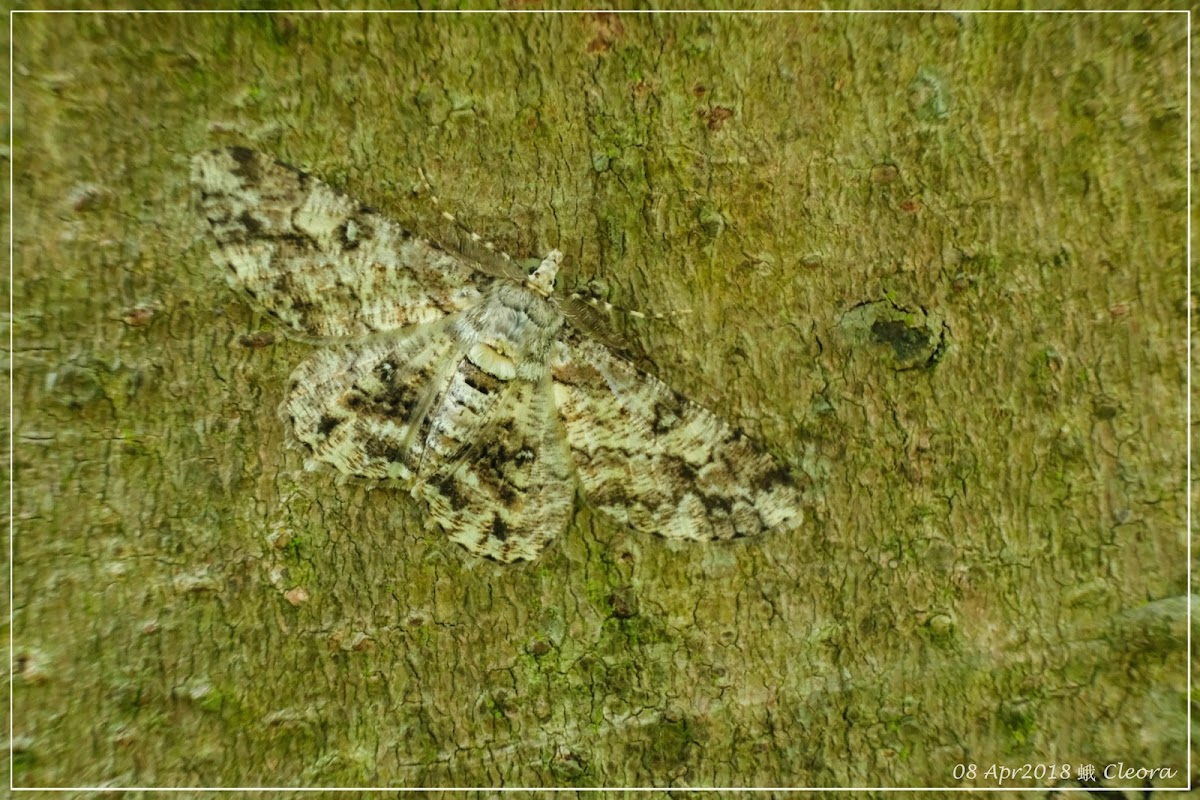 Cleora 蛾