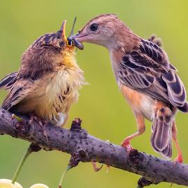 Mother's care by Bernard Tjandra - Animals Birds