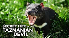 Secret Life of the Tasmanian Devil thumbnail