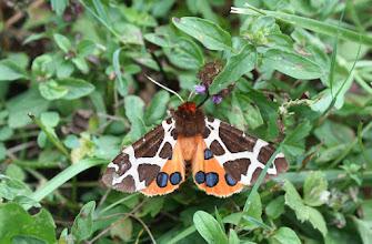 Photo: Arctia caja    Lepidoptera > Erebidae