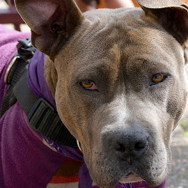Beauty of a Bully by Barbara Brock - Animals - Dogs Portraits ( pet, pit bull, dog, guard dog, aggressive dog, large dog,  )