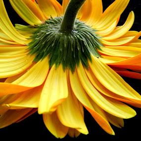 Upside Down Yellow Gerbera by Kathy Rose Willis - Flowers Single Flower ( black background, green, yellow, gerbera, upside down,  )