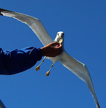 Photo: feeding the gull on the Chicheeman Ferry from Manitoulin