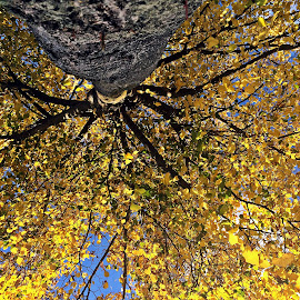 Yellow tree by Dobrin Anca - Nature Up Close Trees & Bushes ( tree, street, brittany, yellow, leaves )