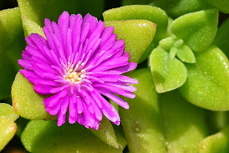 Photo: Mesembryanthemum sp., Erba cristallina, Iceplant