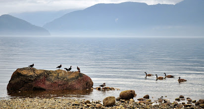 Photo: Avian Rumble: Oyster Catchers vs Canadian Geese at Porteau Cove, BC. Referee: Merganser