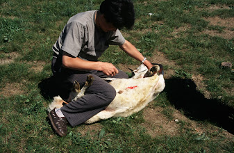 Photo: 03453 シリンホト近郊/ノルボ家/羊の解体