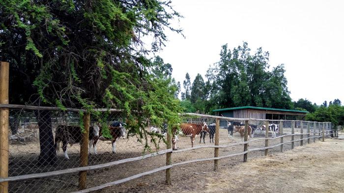cow in a farm near valparaiso chile south america