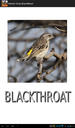 Master Kicau Blackthroat