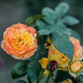 ROSE by Bishal Ranamagar - Flowers Flower Gardens ( rose, nice, garden )