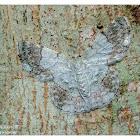 Pingasa ruginaria 基黃粉尺蛾