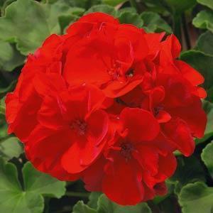 Sunrise XL True Red