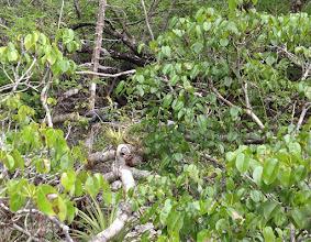 Photo: Blue Iguana, free roaming, on Manchineel - Hippomane mancinella, Endangered, (DO NOT TOUCH), Woodland Trail, Queen Elizabeth II Botanic Park, Grand Cayman. Photo: Ann Stafford, Aug.18, 2013.