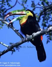 Photo: Keel-billed Toucan