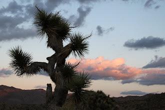 Photo: Weird Joshua Tree at Black Rock