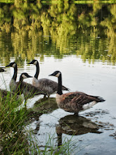Photo: Canadian geese in a reflective lake at Carriage Hill Metropark in Dayton, Ohio.